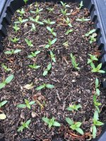 hop seedlings zex.JPG