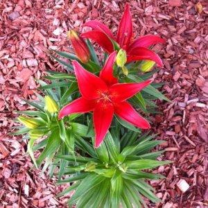 redflower1