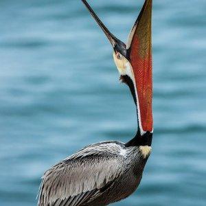 Brown Pelican-La Jolla Cave-California-2014-5