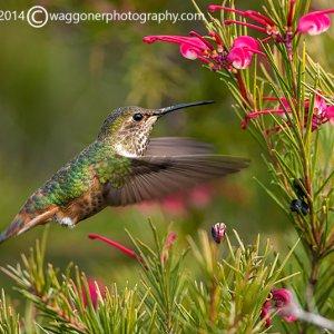 Rofous Hummingbird-San Elijo Lagoon-California-2014-1