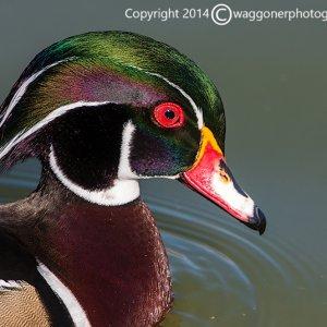 Wood Duck-Lindo Lake Park-California-2014-7