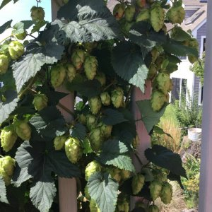 hops of uncertain variety