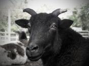 thumb1_goat-57417