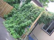 thumb1_hops_august_21-42311
