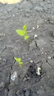 hops-planters