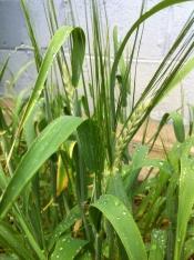thumb1_barley-64318