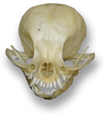 1917-chihuahua-skull-lg-7162