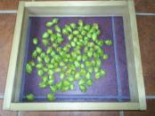 thumb1_hops_nugget_2008_harvest-18398