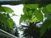 thumb1_hops_nugget_cones3_2008-16441