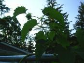 thumb1_hops_nugget_cones5_2008-17335