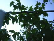 thumb1_hops_nugget_cones7_2008-17337