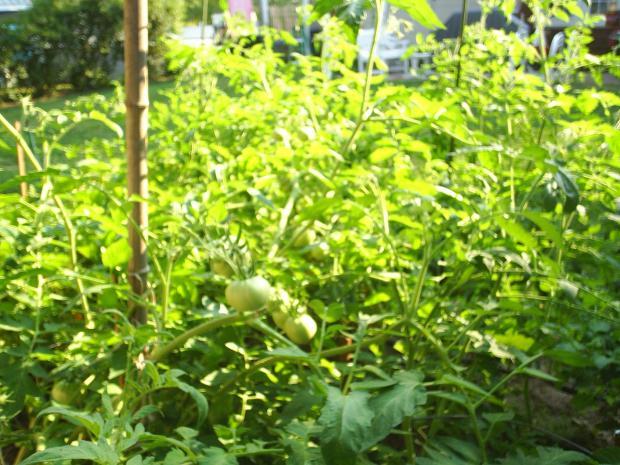 thumb2_garden_beefsteaktom_2008-17338