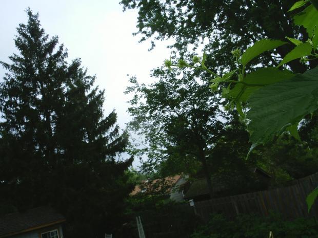 thumb2_hops_nugget_cones_2008-16439