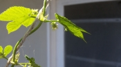hops-july-update1-65922.jpg