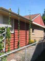 hops-at-side-of-house