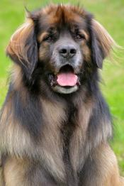 thumb1_leonberger_201_20700_20clean-46042