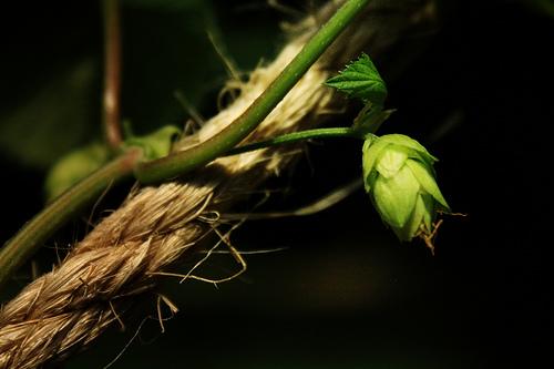 hops33-30283