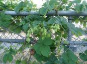 thumb1_hops111-31291