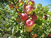 thumb1_apples-40959