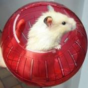 thumb1_hamster-40347