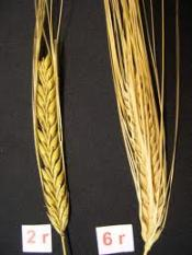 thumb1_two-row-barley-49669
