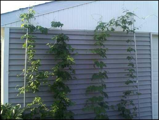 hops_7-8-09-30346