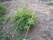 thumb1_hops-08_001-15554