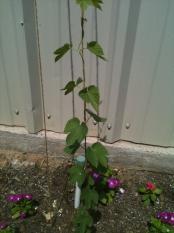 first-year-cascade-hops