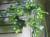 thumb1_hops-2012a1-56038