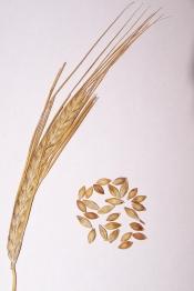 small-plot-organic-malt-barley-and-hops-farming