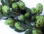 The Resurrection Of British Hops
