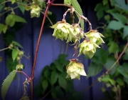The Illustrated Brewer - Hops