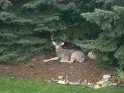thumb1_buck_in_backyard_napping-34988