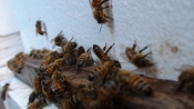 thumb1_nice-honey-bees-61214
