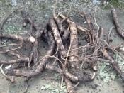 thumb1_roots1-59147