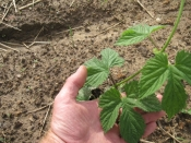 thumb1_hops-growing-21-59771