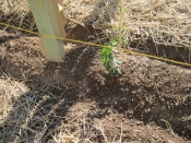 thumb1_hops-growing-6-59667