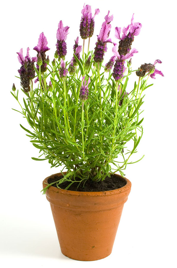 Growing ingredients for use in your homebrew - Growing lavender pot ...